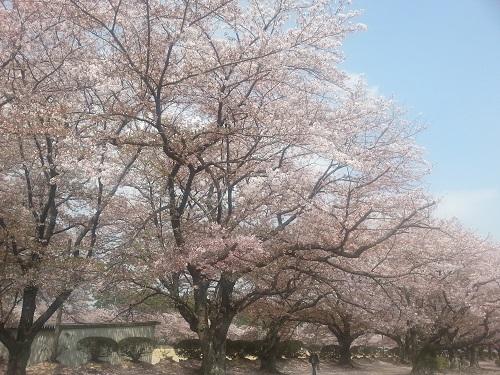 聴く桜.jpg